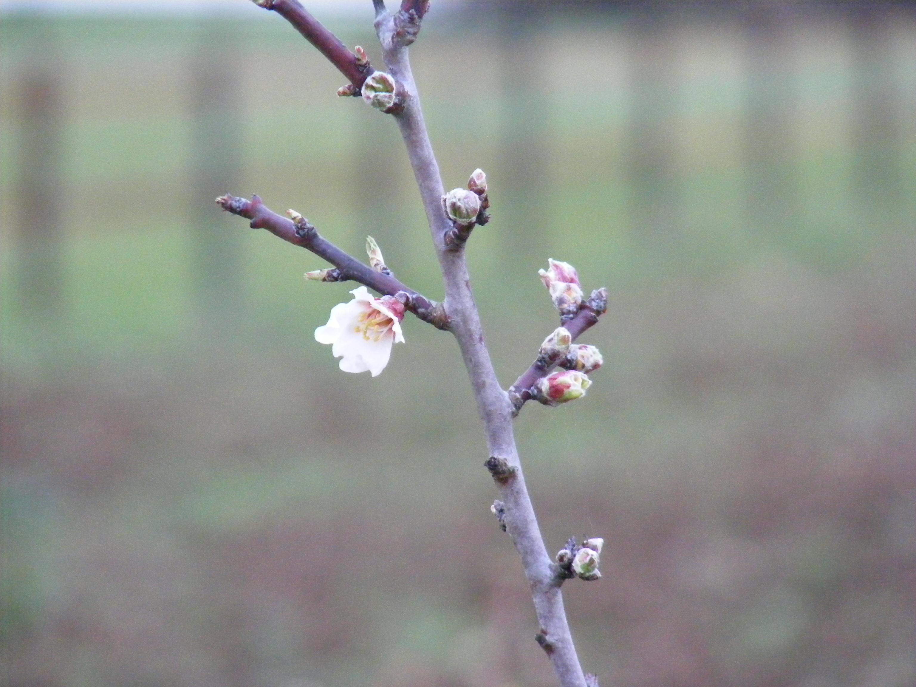 Les premières fleurs, celles-ci datent d'une semaine pratiquement.